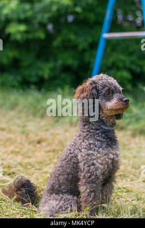 Adorable fluffy Sable Poodle Dog - Stock Photo