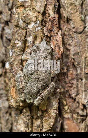 Gray treefrog (Hyla versicolor) camouflaging on the bark of elm tree, Iowa, USA. - Stock Photo