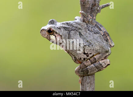 Gray treefrog (Hyla versicolor) on a tree branch, Iowa, USA. - Stock Photo