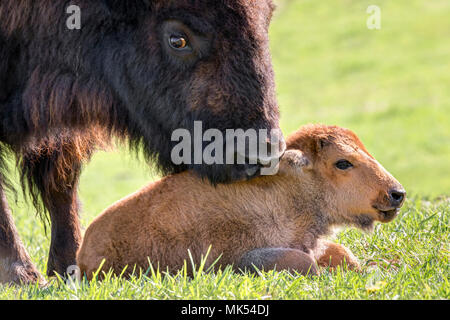 Female American bison (Bison bison) grooming a calf, Neal Smith National Wildlife Reserve, Iowa, USA. - Stock Photo