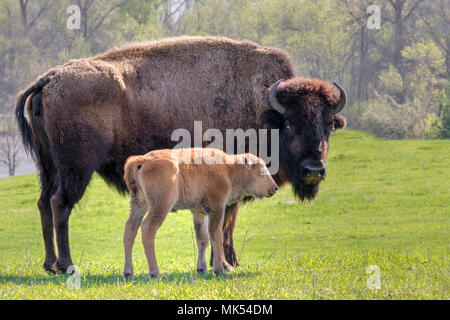 Female American bison (Bison bison) with a calf, Neal Smith National Wildlife Reserve, Iowa, USA. - Stock Photo