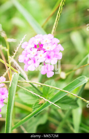 White Purple Wild Lantana Camara Flowers Within Wild Grass - Stock Photo