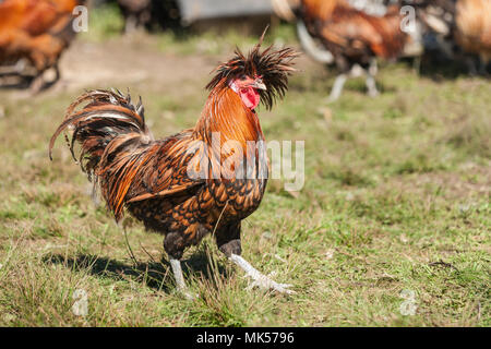 Carnation, Washington, USA.  Golden Laced Polish rooster strutting across the lawn. (PR) - Stock Photo