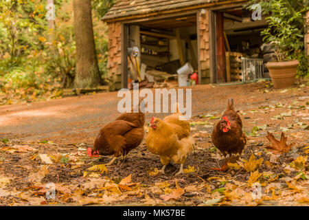 Issaquah, Washington, USA.  Free-ranging Buff Orpington and Rhode Island Red chickens foraging for bugs along a driveway. (PR) - Stock Photo