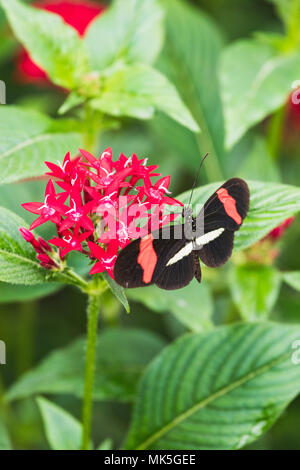 Closeup of a heliconius melpomene butterfly on a leaf switzerland - Stock Photo