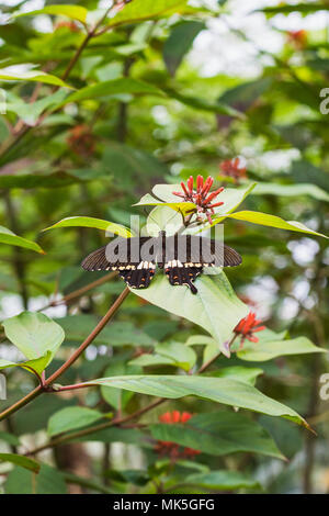 Closeup of a papilio constantinus butterfly on a leaf switzerland - Stock Photo