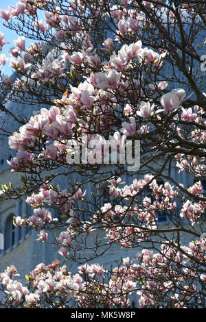 Close up of an Alexandria Saucer Magnolia tree in spring bloom in northern Illinois - Stock Photo