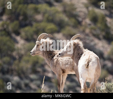 Two Bighorn sheep ewes with their backs to the camera, looking left. Photographed in Bighorn Canyon National Recreation Area. - Stock Photo
