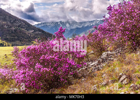 Bright purple flowers Ledebur rhododendron growing on the slope of the mountain against the backdrop of snow-capped mountains in the spring - Stock Photo