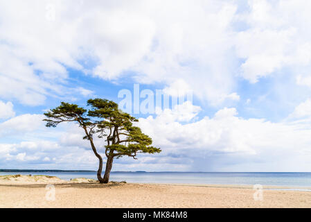 Ahus, Sweden. A lonely pine tree standing on the sandy beach on a sunny day in spring. Rainclouds in the distance. - Stock Photo