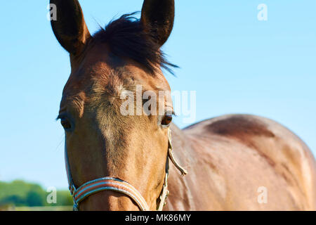 A view of a horse head with a lawn in the background on a bright spring day - Stock Photo