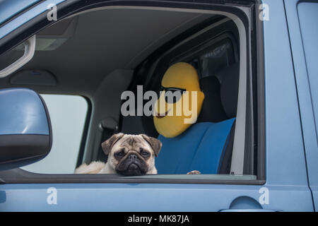 Pug dog looking out of van window looking glum, with a smiley face cushion behind him. - Stock Photo