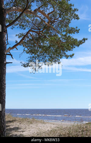 Pine tree growing on the sand dunes of Valgeranna beach in Western Estonia by the Baltic Sea - Stock Photo