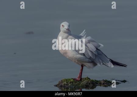 Slender Billed Gull (Chroicocephalus genei) Close-Up. - Stock Photo