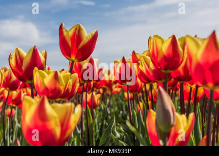 Cheerful red with yellow tulips are standing in a field during springtime. It is a  lovely sunny day with a blue sky in de background. - Stock Photo