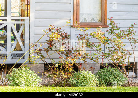 Beautiful bushes of roses and plants in spring before flowering with small leaves near window on wooden wall. Small wooden house, Scandinavian style - Stock Photo