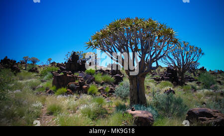 Quiver tree or kokerboom forest near Keetmanshoop, Namibia - Stock Photo