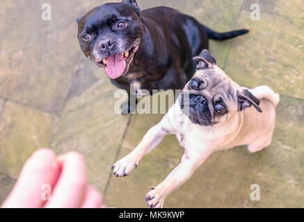 Pug and Staffordshire bull terrier dog outside waiting for a treat. The black terrier is sitting patiently with an open mouth smile. The pug is jumpin - Stock Photo