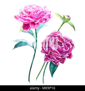 Set watercolor elements of pink peonies. Collection garden flowers. Watercolor illustration peony isolated on white background. - Stock Photo