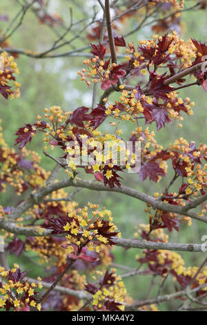 Acer Platanoides 'Goldsworth purple'. Norway Maple tree flowering in spring - Stock Photo