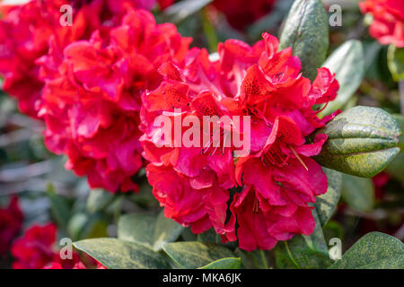 Close up of the red flower trusses of a 'Grace Seabrook' Rhododendron plant in a garden in Southern England during May/ spring, UK - Stock Photo