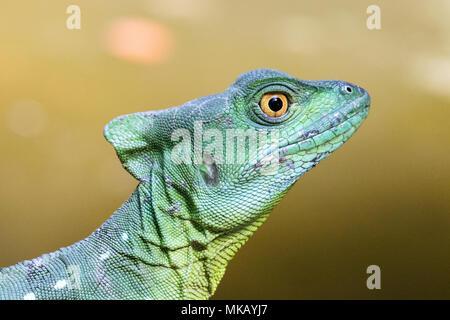 green basilisk or Jesus Christ lizard Basiliscus plumifrons adult resting on branch of tree, Costa Rica - Stock Photo