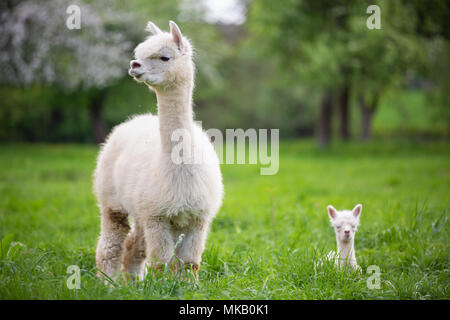 White Alpaca with offspring, South American mammal - Stock Photo