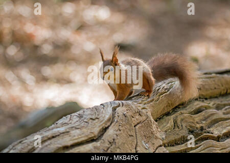 Red Squirrel on fallen tree on Brownsea Island. - Stock Photo