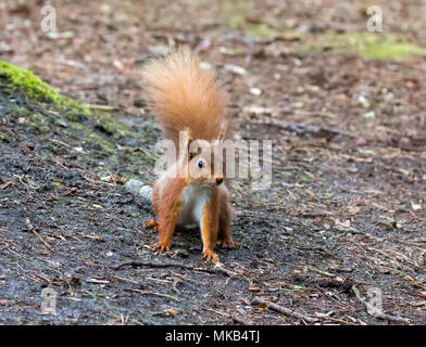Red Squirrel on ground in woodland on Brownsea Island. - Stock Photo