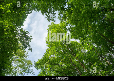 green leaves tree canopy low angle view - Stock Photo