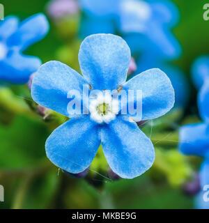 Tender Blue Forget-Me-Not Myosotis Brunnera Boraginaceae Flower Macro - Stock Photo