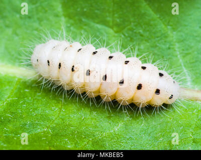 Exotic Caterpillar Insect on Leaf Macro - Stock Photo