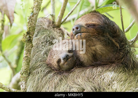 brown-throated sloth or three-toed sloth Bradypus variegatus adult female and baby resting on tree branch in Costa Rica - Stock Photo