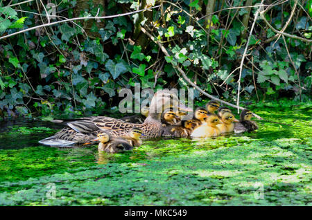 Mallard Duck [Anas platyrhynchos] female with family of ducklings in a stream - Stock Photo