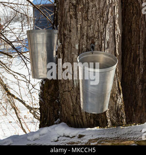 Closeup shot of two metal buckets hanging from a tapped maple tree in early March against a snowy background. - Stock Photo