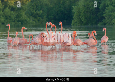 Pink flamingos family at dawn , they gather before setting off to start their day in the river