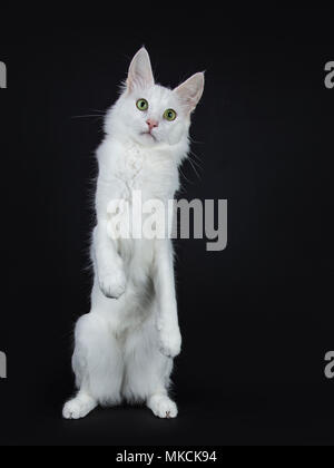 Solid white Turkish Angora cat with green eyes standing on back paws like meerkat isolated on black background looking at camera - Stock Photo