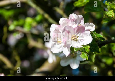 White apple blossom on branches of a Bramley apple tree, Malus domestica - Stock Photo