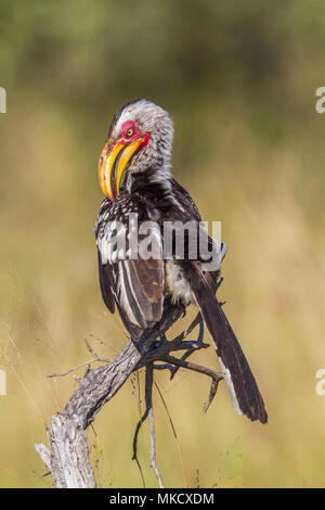 Yellow-billed hornbill in Kruger national park, South Africa ; Specie Tockus leucomelas family of Bucerotidae - Stock Photo