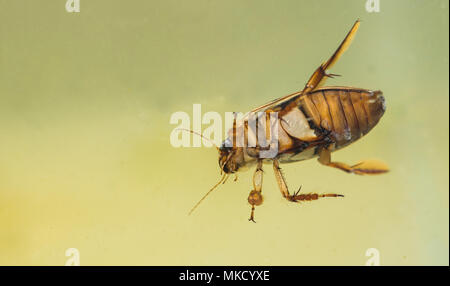 Great diving beetle (Dytiscus marginalis), underside of adult male - Stock Photo