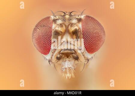 Drosophila melanogaster - fruit fly - Stock Photo