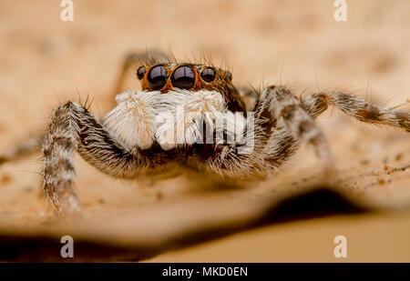 Jumping Spider Menemerus semilimbatus - Stock Photo