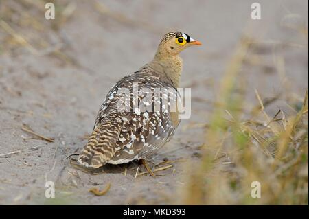 Double-banded Sandgrouse (Pterocles bicinctus) on ground, Botswana - Stock Photo