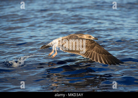 Yellow-legged gull (Larus michahellis) juvenile in flight, Tenerife, Canary Islands. - Stock Photo