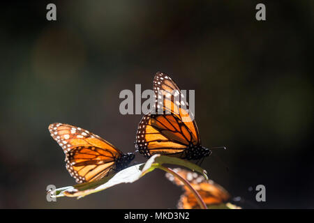 Monarch butterfly (Danaus plexippus), in wintering from November to March in oyamel pine (Abies religiosa) forest, butterflies gathering nectar, El Rosario, Reserve of the Biosfera Monarca, Angangueo, State of Michoacan, Mexico - Stock Photo