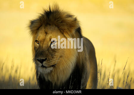 Lion (Panthera leo) male with black mane in the desert of Kalahari during mating period at sunset. Kgalagadi, South Africa - Stock Photo