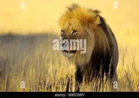 Lion (Panthera leo) male with black mane in the desert of Kalahari during mating period at sunset. Kgalagadi, South Africa - Stock Photo