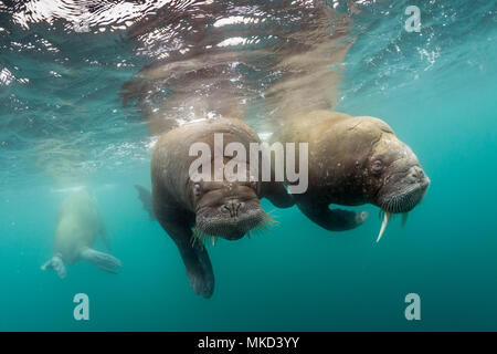 Pair of Atlantic walrus (Odobenus rosmarus), Spitsbergen, Svalbard, Norwegian archipelago, Norway, Arctic Ocean - Stock Photo