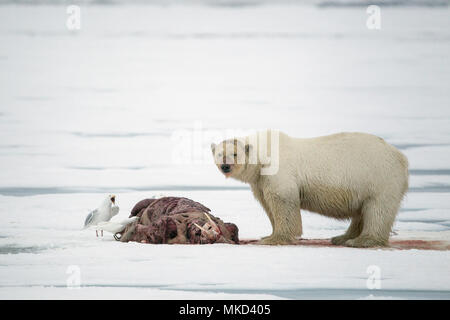 Polar bear (Ursus maritimus) eating a walrus (Odobenus rosmarus), on the ice, Spitsbergen, Svalbard, Norwegian archipelago, Norway, Arctic Ocean - Stock Photo