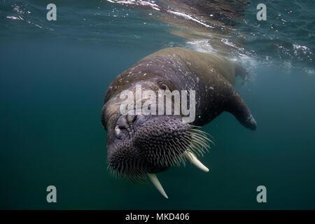 Atlantic walrus (Odobenus rosmarus), Spitsbergen, Svalbard, Norwegian archipelago, Norway, Arctic Ocean - Stock Photo